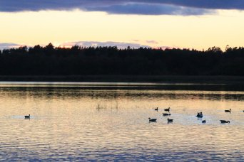 Geese in autumn lake at sunset, photograph 3/4