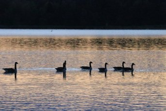 Geese in autumn lake at sunset, photograph 1/4