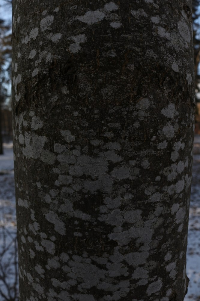 Trunk of Ash