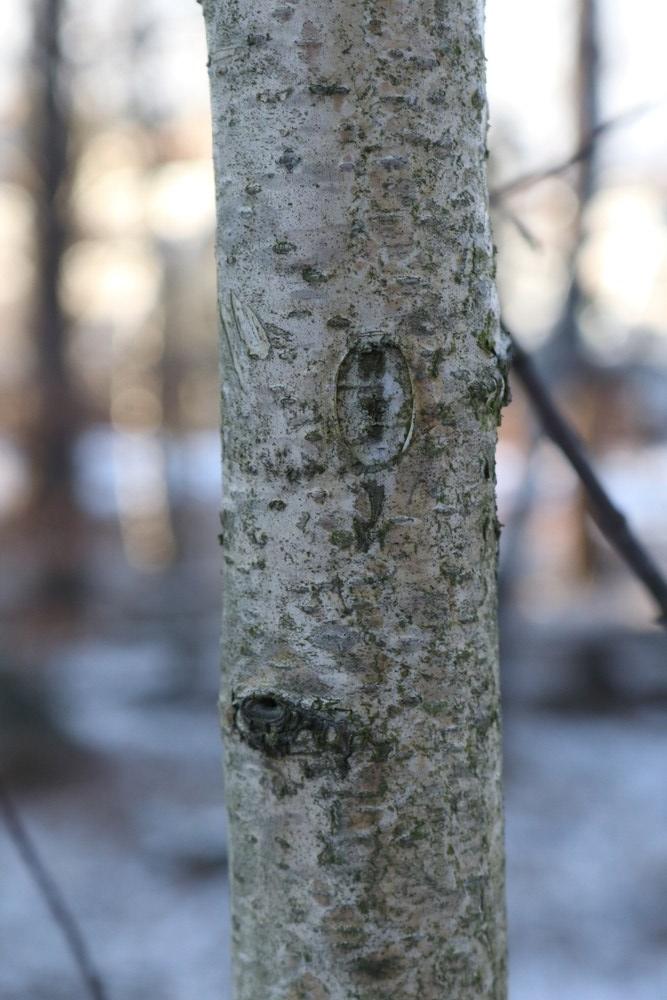 Trunk of Downy Birch