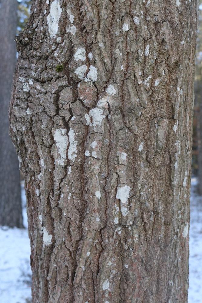 Trunk of English Oak