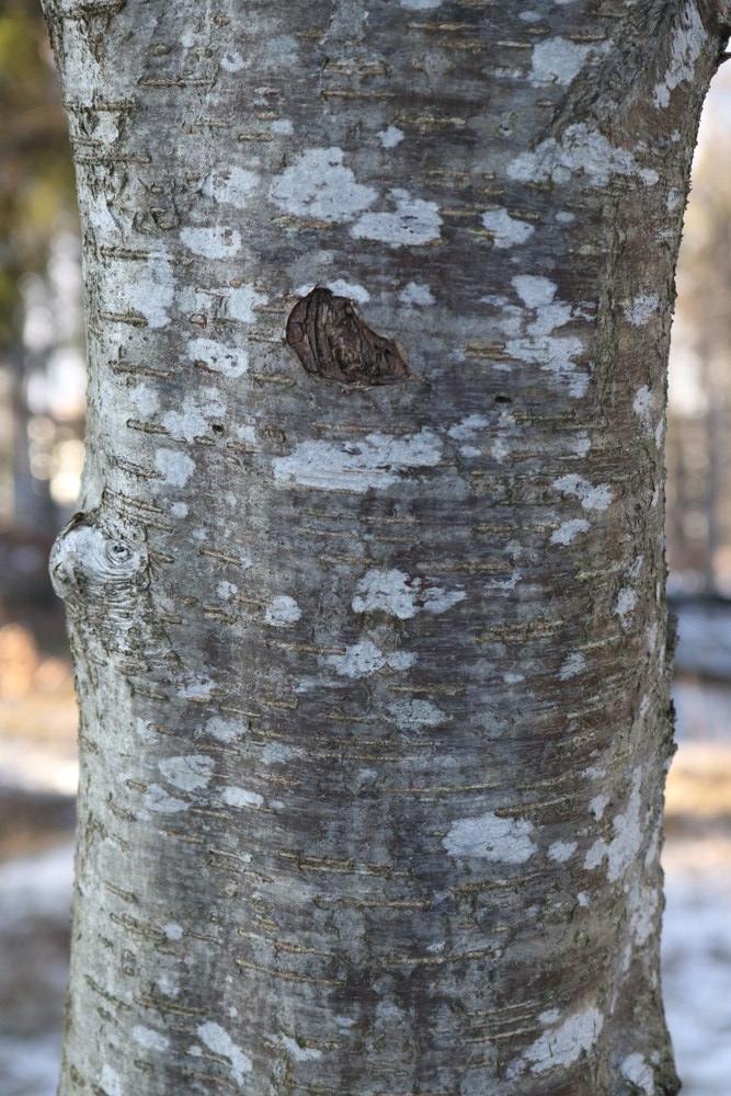 trunk of rowan
