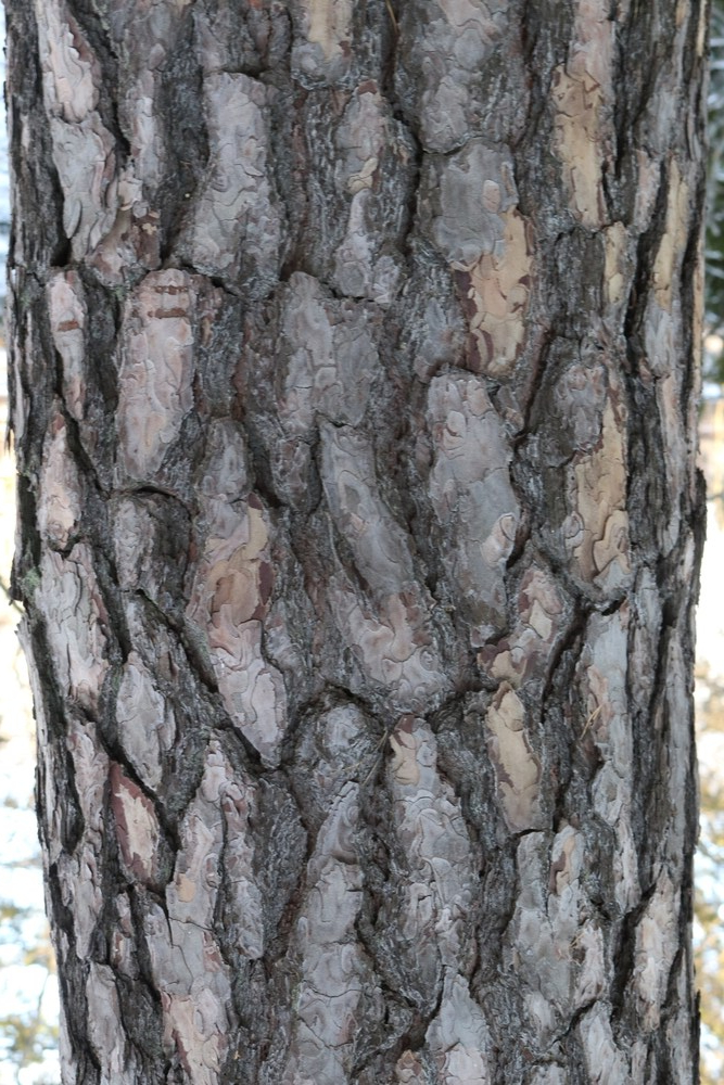 Trunk of Scots Pine