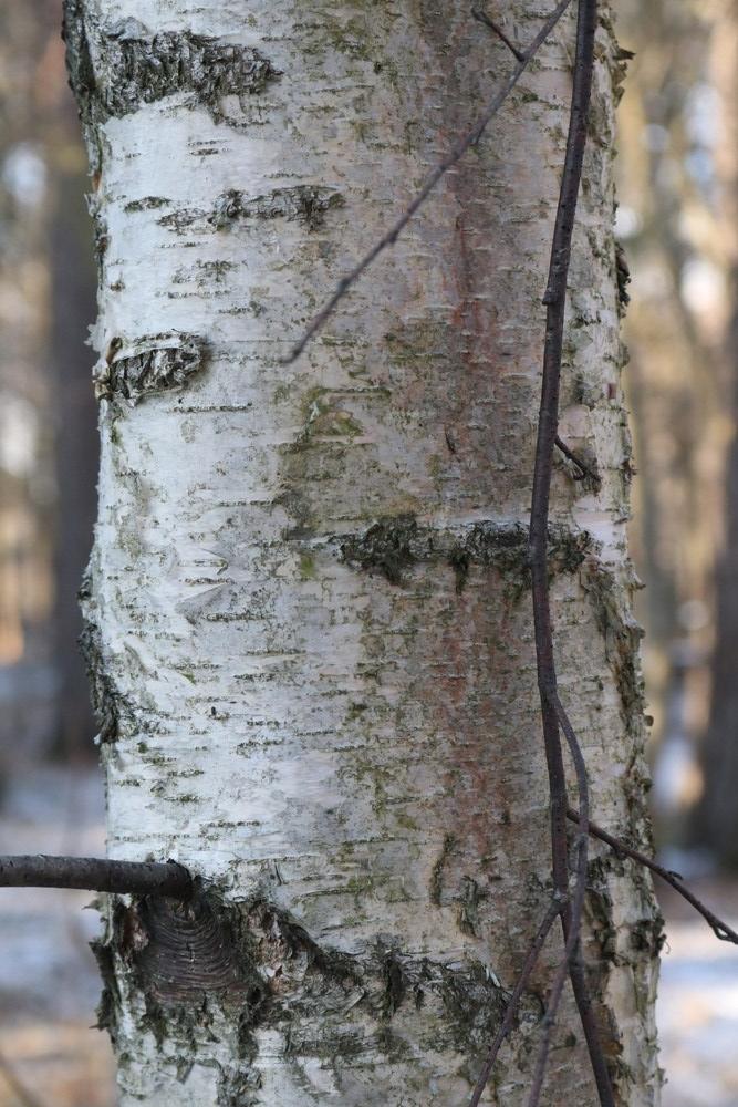 Trunk of Silver Birch