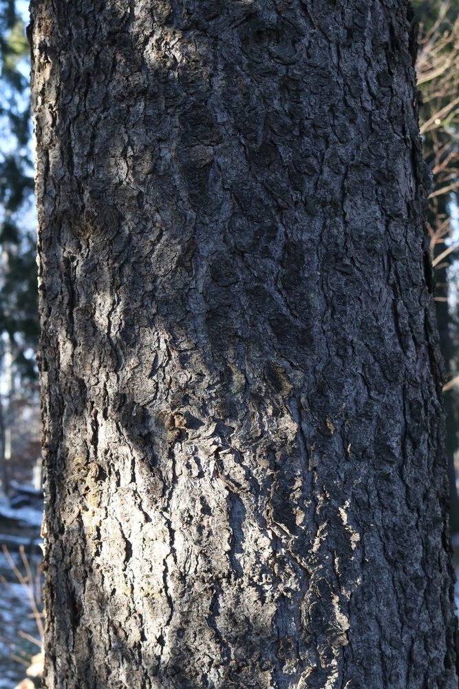 Trunk of Spruce